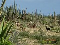 caprette tra i cactus
