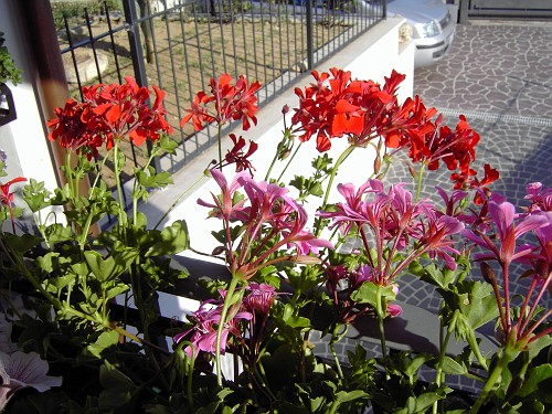 Gerani parigini fiori coltivati rellogiramondo for Fiori gerani
