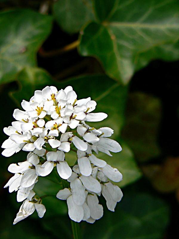 Fiori a grappolo colori fuori cliccando for Fiori bianchi profumati a grappolo