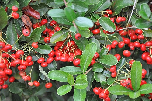 Arbusti con bacche rosse fiori pacofe for Pianta ornamentale con bacche rosse