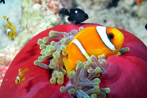 Pesce pagliaccio del mar rosso pesci tropicali alice for Immagini pesce pagliaccio